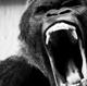 Ape Shifter :Ape Shifter